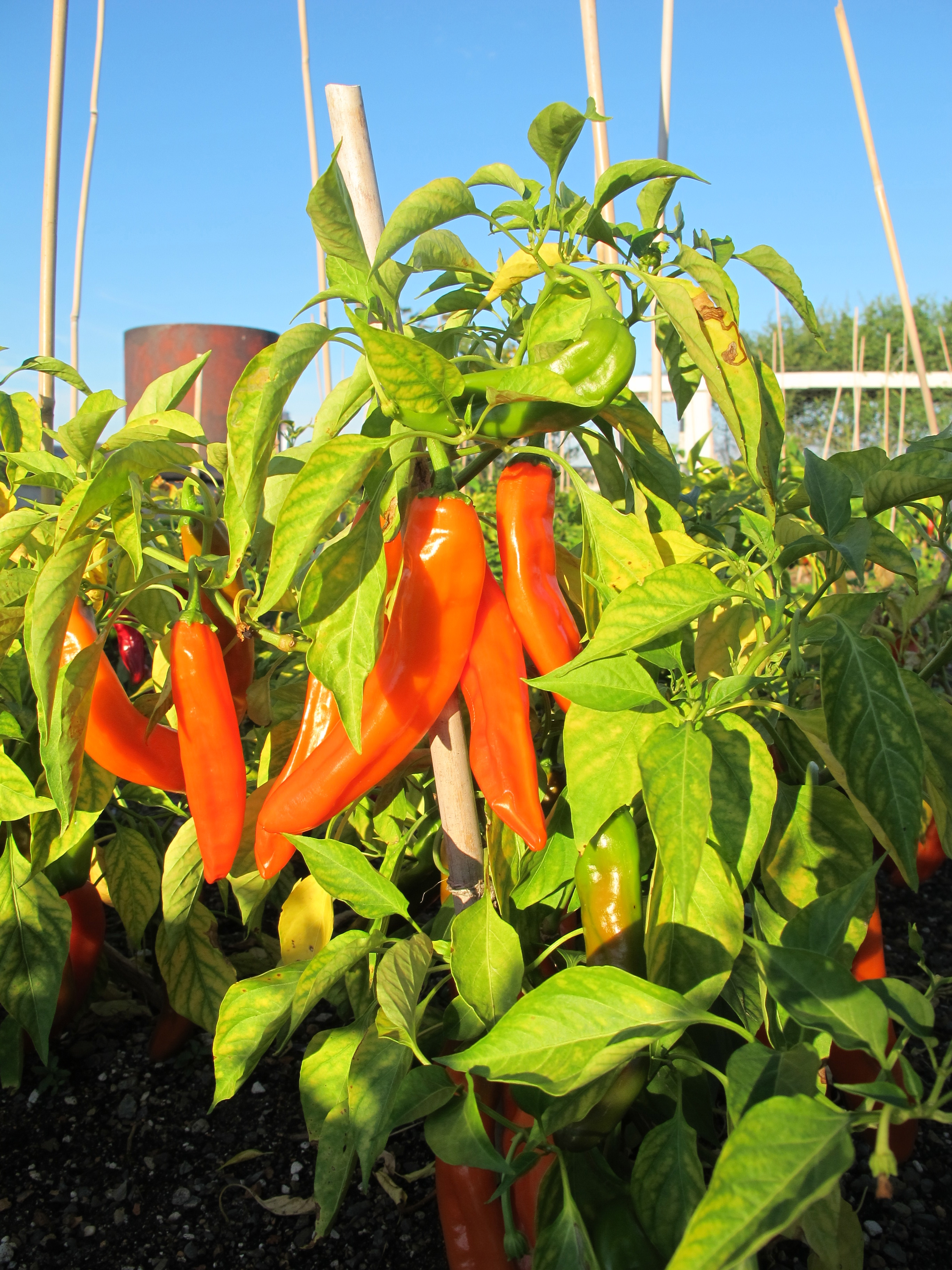 hot peppers at eagle street